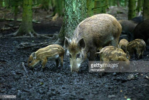 Wild Boar in a Forest