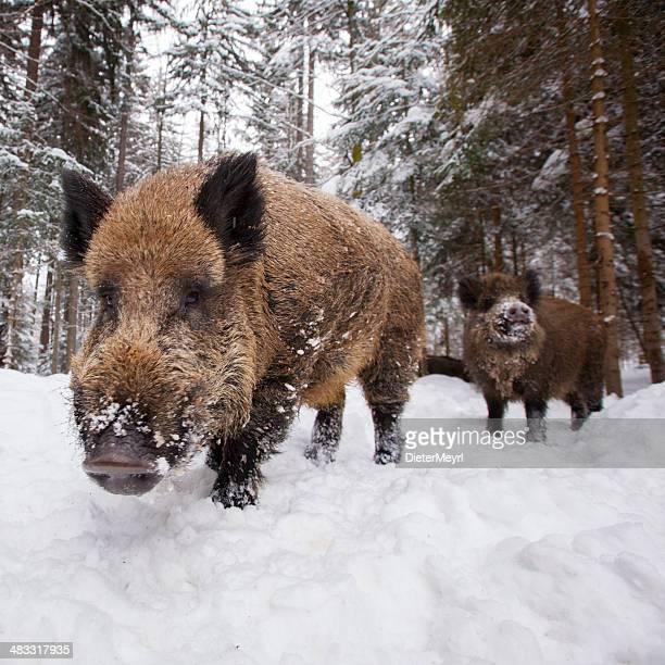 wild boar in a row at wintertime