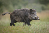 A wild boar forages for acorns in autumn