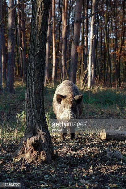 Wild boar im Wald