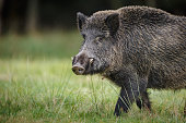 A wild boar forages for acorns and apples in autumn
