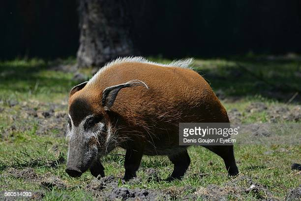 Wild Boar On Field