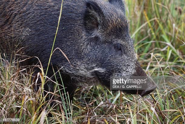 Wild boar or Wild pig Suidae