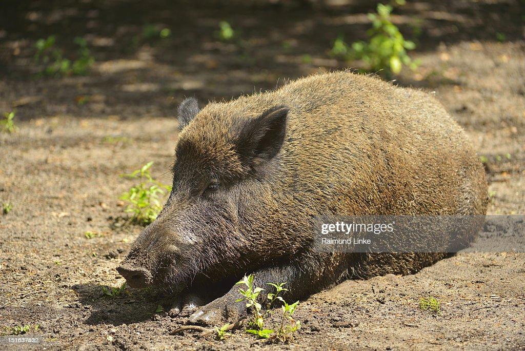 Wild boar : Stock Photo