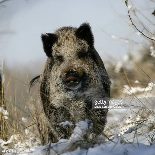 wild boar, pig, wild boar (Sus scrofa)