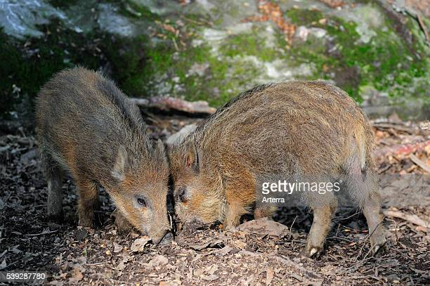 Wild boar piglets searching for food with snout in leaf litter Bavarian Forest Germany
