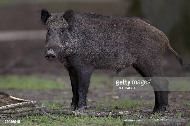 A wild boar roams in the Rambouillet forest reserve on July 31 some 50 kms outside of Paris AFP PHOTO / JOEL SAGET