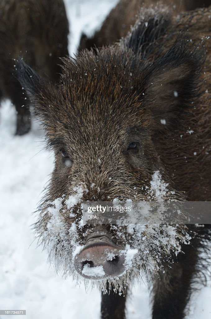 A wild boar stands in the snow in a wildlife park in Stuttgart, southern Germany, on February 15, 2013.
