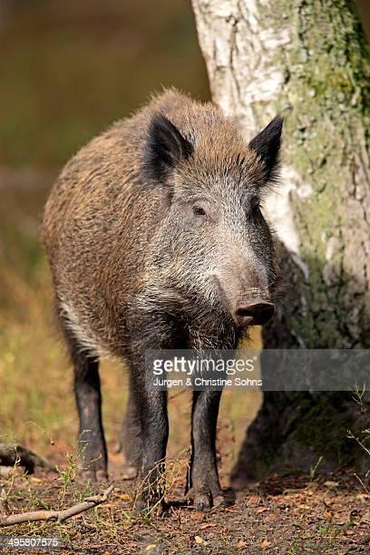 Wild Boar -Sus scrofa-, adult, Hanau, Hesse, Germany