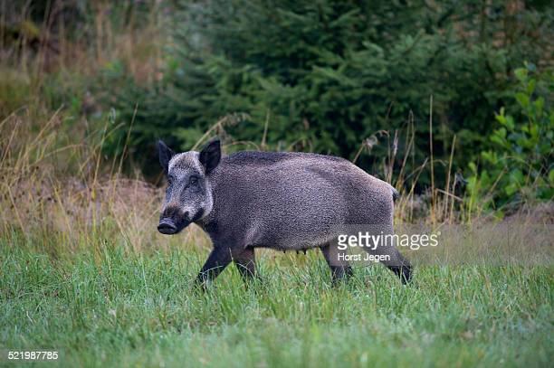 Wild Boar -Sus scrofa-, Eifel, Rhineland-Palatinate, Germany