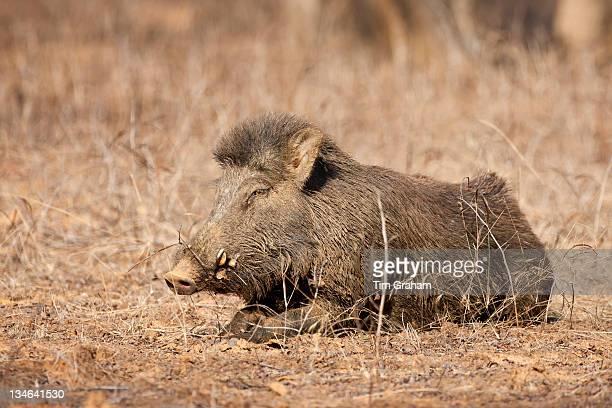 Wild boar Sus scrofa in Ranthambhore National Park Rajasthan India