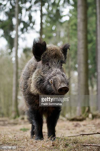 Wild Boar -Sus scrofa-, tusker in winter coat, captive, Saxony, Germany