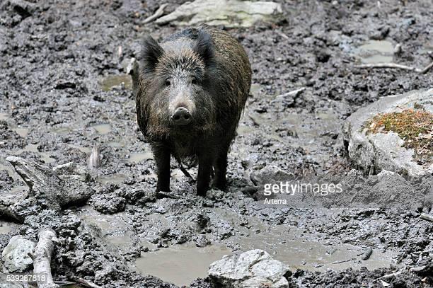 Wild boar taking a mud bath in quagmire to get rid of parasites Bavarian Forest Germany