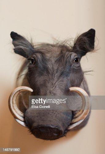 Wild boar taxidermy mount : Stock Photo