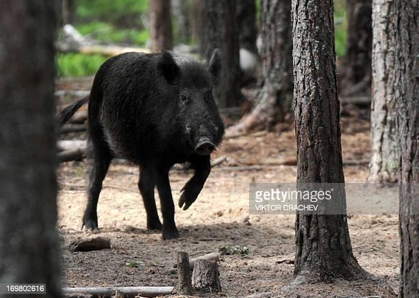 A wild boar walks through Pripyatsky National Park near the Belarus village of Lyaskovichi some 250 km north of Minsk on June 1 2013 AFP PHOTO /...