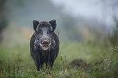 A male boar shows his impressive tusks