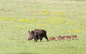 Wild boar with cute piglets walking on grassland with spring flowers
