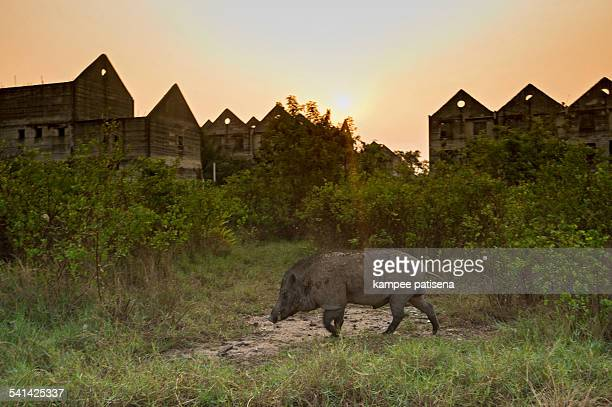 Wild boars at abandoned village