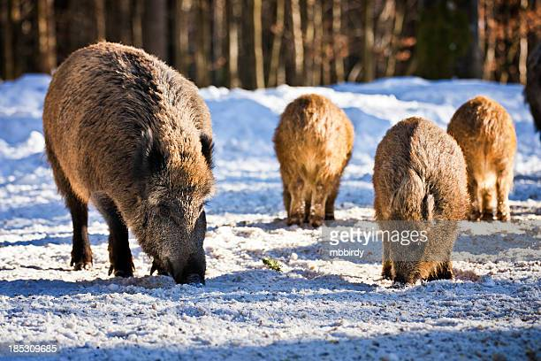 Wild boars in snowcapped forest