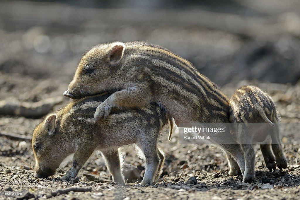 Wild boars : Stock Photo