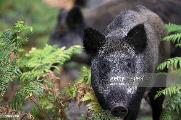 Wild boars roam in the Rambouillet forest reserve on July 31 some 50 kms outside of Paris AFP PHOTO / JOEL SAGET