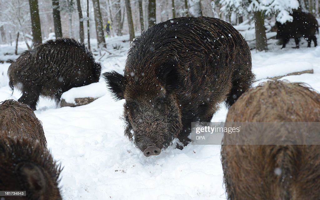Wild boars stand in the snow in a wildlife park in Stuttgart, southern Germany, on February 15, 2013.