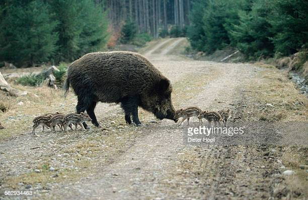 Wild Boars -Sus scrofa-, sow with 2-week old piglets on a forest path, Allgaeu, Bavaria, Germany, Europe