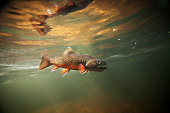 This is a beautiful wild brook trout underwater in a spring fed stream.  You won't find these colors on a stocked fish.  There is a slight amount of grain in the shot which should be expected for a lo