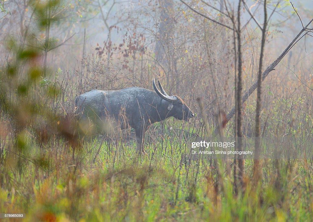 Wild buffalo in natural habitat