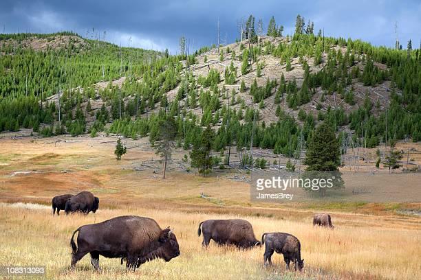 Wild Buffalo amplio y pasta Parque Nacional Yellowstone, American West
