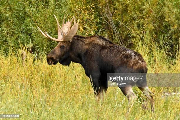 Wild Bull Moose in Jackson Hole Wyoming 2