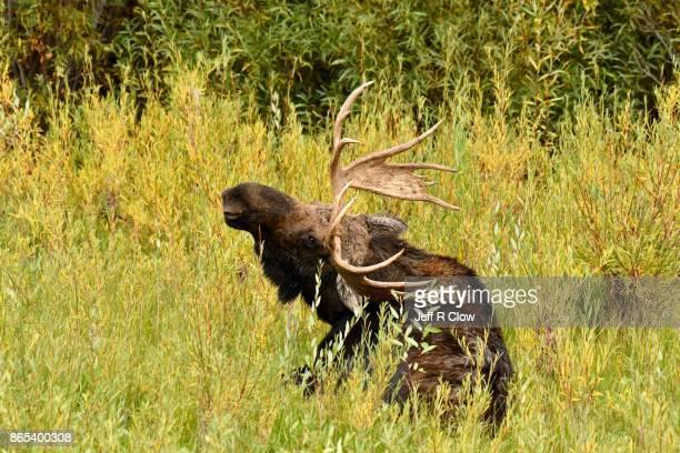 Wild Bull Moose in Jackson Hole Wyoming 5