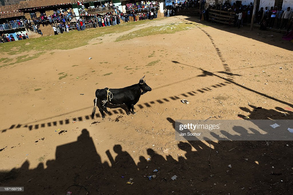 A wild bull waits for a bullfighter during the Yawar Fiesta, a ritual fight between the condor and the bull, held in the mountains of Apurímac on 30 July 2012 in Cotabambas, Peru. The Yawar Fiesta (Feast of Blood), an indigenous tradition which dates back to the time of the conquest, consists basically of an extraordinary bullfight in which three protagonists take part - a wild condor, a wild bull and brave young men of the neighboring communities. The captured condor, a sacred bird venerated by the Indians, is tied in the back of the bull which is carefully selected for its strength and pugnacity. A condor symbolizes the native inhabitants of the Andes, while a bull symbolically represents the Spanish invaders. Young boys, chasing the fighting animals, wish to show their courage in front of the community. However, the Indians usually do not allow the animals to fight for a long time because death or harm of the condor is interpreted as a sign of misfortune to the community.