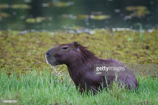A wild capybara is seen in Pantanal near Pocone Mato Grosso state western Brazil on January 31 2011 The Pantanal area a sanctuary of biodiversity is...
