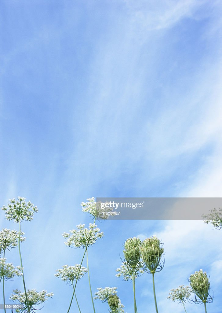 Wild Carrot : Stock Photo