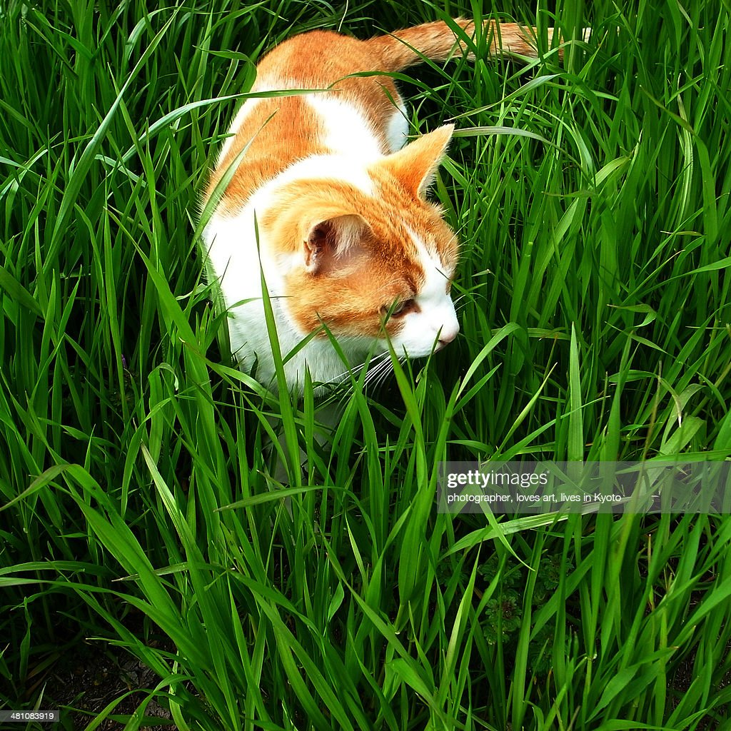 A wild cat of Kamogawa, Kyoto : Stock Photo