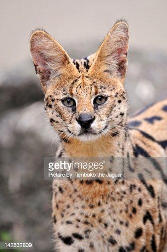 Wild cat with big ears : ストックフォト