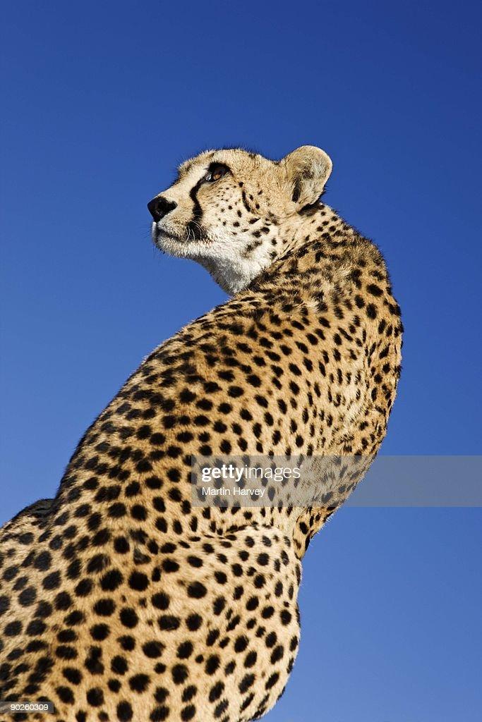 Wild cheetah : Stock Photo