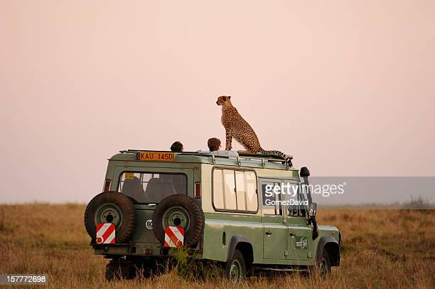 Wild Cheetah Sitting on the Roof of Safari Vehicle