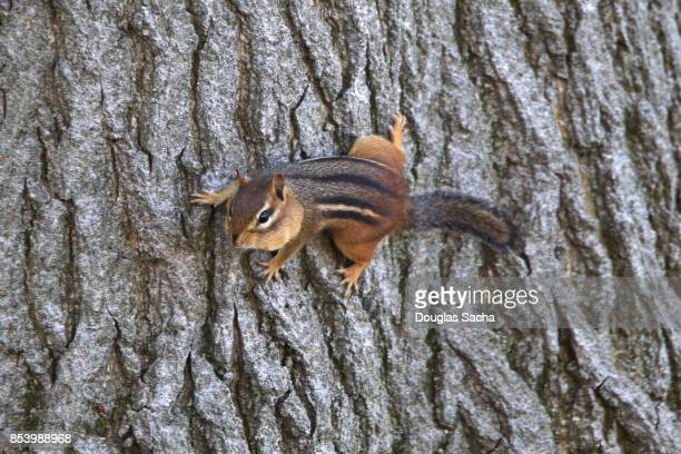 Wild Chipmunk climbing on an Oak Tree (Tamias striatus)