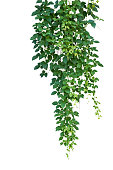 Wild climbing vine, Cayratia trifolia (Linn.) Domin. isolated on white background, clipping path included. Hanging branches of jungle vines