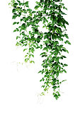 Wild climbing vine, Cayratia trifolia (Linn.) Domin. liana plant isolated on white background, clipping path included. Hanging branches of jungle vines.