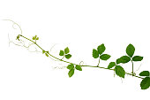 Wild climbing vine, Cayratia trifolia (Linn.) Domin. liana plant isolated on white background, clipping path included.