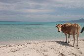 Wild cow on Saleccia beach, Corsica