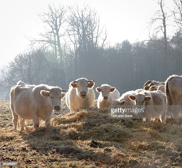 Wild Cows eating in the cold winter