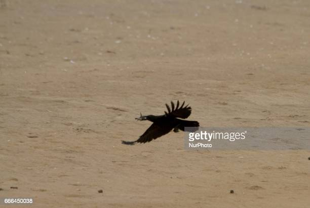 Wild crows collects newly hatched Olive Ridley turtle chicks to eat as they are enters into the Bay of Bengal Sea at the Rushikulya River mouth beach...