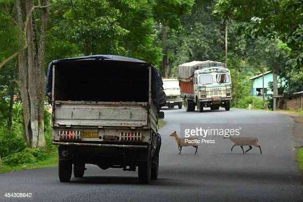 Wild deer cross a highway in search of dry land after floods hit Kaziranga National Park in AssamNearly 900000 people are affected in 15 districts in...