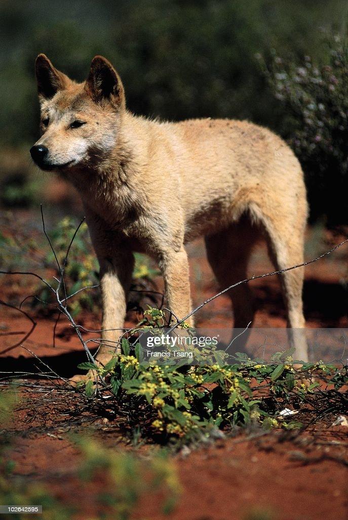 Wild dog Dingo specie wild dog
