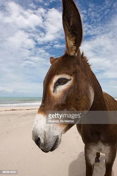 Wild Donkey on Desert Brazilian Beach