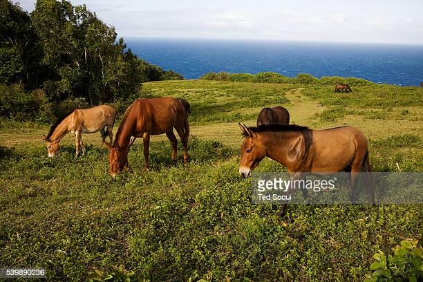 Wild Donkeys graze on the Pololu Valley overlook on the big island of Hawaii Kona